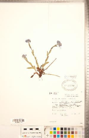 (Myosotis asiatica - CCDB-20335-A08)  @11 [ ] Copyright (2015) Deb Metsger Royal Ontario Museum