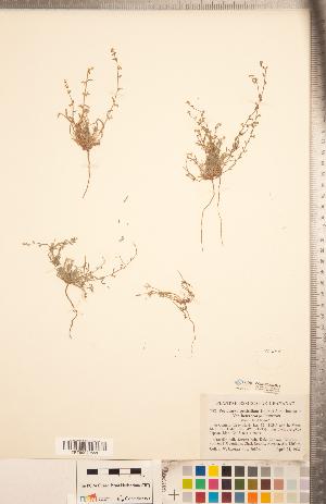 (Pectocarya - CCDB-20335-B11)  @11 [ ] Copyright (2015) Deb Metsger Royal Ontario Museum