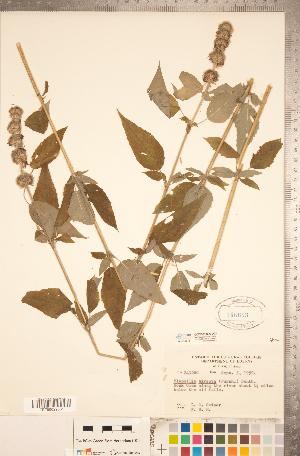 (Blephilia - CCDB-20336-D02)  @11 [ ] Copyright (2015) Deb Metsger Royal Ontario Museum