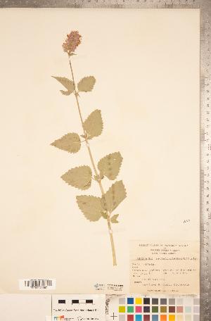 (Agastache urticifolia - CCDB-20336-B01)  @11 [ ] Copyright (2015) Deb Metsger Royal Ontario Museum