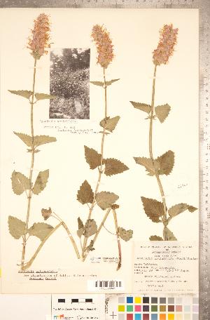 (Agastache urticifolia - CCDB-20336-D01)  @11 [ ] Copyright (2015) Deb Metsger Royal Ontario Museum