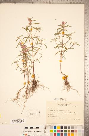 (Galeopsis - CCDB-20336-H03)  @11 [ ] Copyright (2015) Deb Metsger Royal Ontario Museum