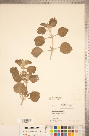 (Marrubium - CCDB-20336-H05)  @11 [ ] Copyright (2015) Deb Metsger Royal Ontario Museum