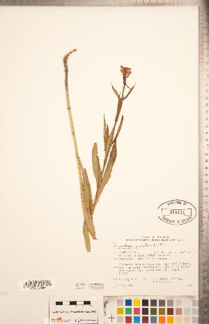 (Physostegia parviflora - CCDB-20336-G07)  @11 [ ] Copyright (2015) Deb Metsger Royal Ontario Museum