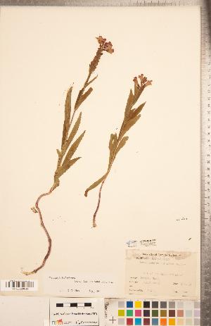 (Physostegia ledinghamii - CCDB-20336-E07)  @11 [ ] Copyright (2015) Deb Metsger Royal Ontario Museum