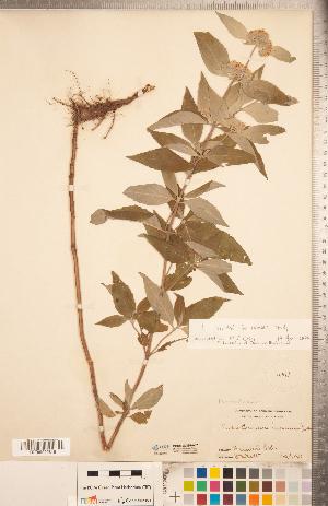 (Pycnanthemum incanum - CCDB-20336-A07)  @11 [ ] Copyright (2015) Deb Metsger Royal Ontario Museum