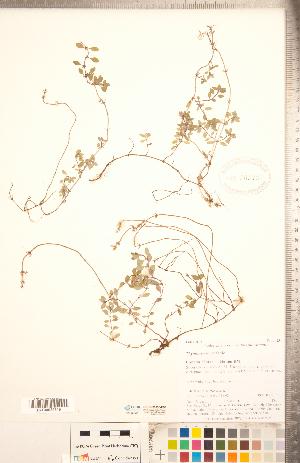 (Thymus - CCDB-20336-E08)  @11 [ ] Copyright (2015) Deb Metsger Royal Ontario Museum