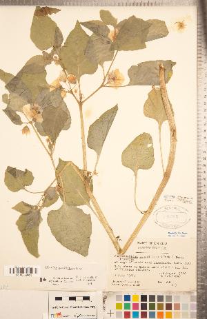 (Leucophysalis - CCDB-20336-H12)  @11 [ ] Copyright (2015) Deb Metsger Royal Ontario Museum