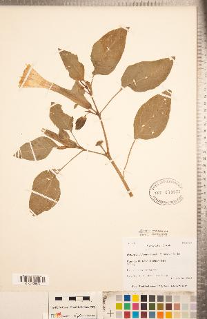 (Datura - CCDB-20336-G12)  @11 [ ] Copyright (2015) Deb Metsger Royal Ontario Museum