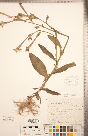 (Nicotiana longiflora - CCDB-20336-D12)  @11 [ ] Copyright (2015) Deb Metsger Royal Ontario Museum
