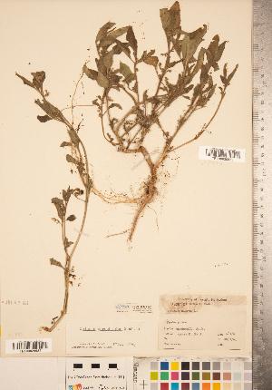 (Solanum physalifolium - CCDB-20338-C01)  @11 [ ] Copyright (2015) Deb Metsger Royal Ontario Museum