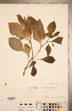 (Scopolia - CCDB-20338-A01)  @11 [ ] Copyright (2015) Deb Metsger Royal Ontario Museum