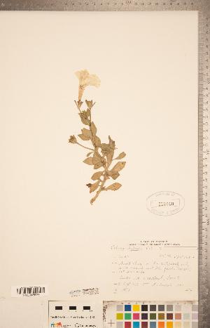(Petunia - CCDB-20338-H02)  @11 [ ] Copyright (2015) Deb Metsger Royal Ontario Museum