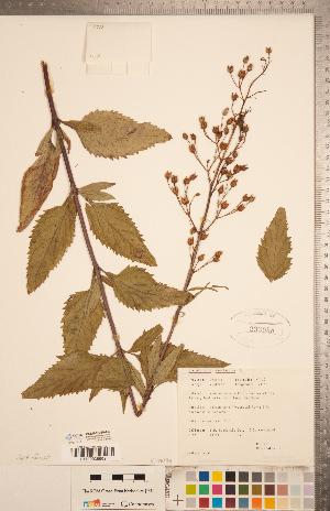 (Scrophularia marilandica - CCDB-20338-A03)  @11 [ ] Copyright (2015) Deb Metsger Royal Ontario Museum