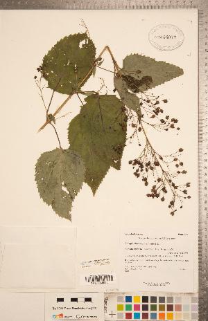 (Scrophularia marilandica - CCDB-20338-H04)  @11 [ ] Copyright (2015) Deb Metsger Royal Ontario Museum