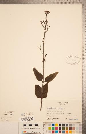 (Scrophularia nodosa - CCDB-20338-E04)  @11 [ ] Copyright (2015) Deb Metsger Royal Ontario Museum