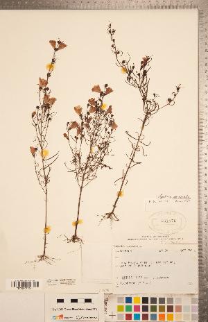 (Agalinis purpurea var. parviflora - CCDB-20338-H05)  @11 [ ] Copyright (2015) Deb Metsger Royal Ontario Museum