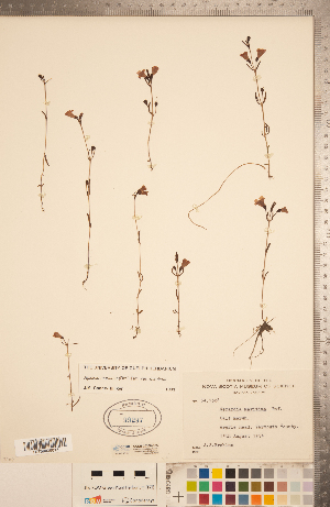 (Agalinis maritima var. maritima - CCDB-20338-D05)  @11 [ ] Copyright (2015) Deb Metsger Royal Ontario Museum
