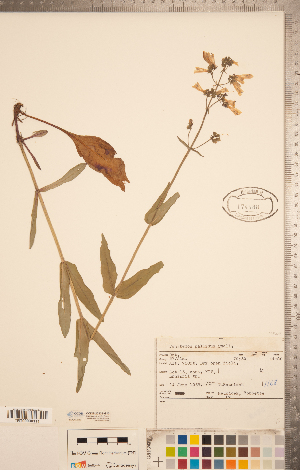 (Penstemon pallidus - CCDB-20338-G10)  @11 [ ] Copyright (2015) Deb Metsger Royal Ontario Museum