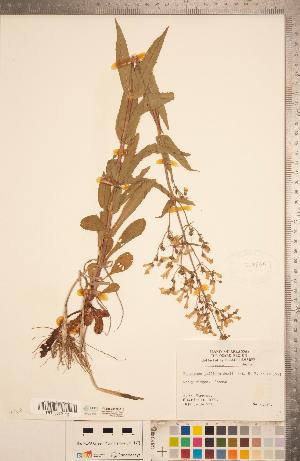 (Penstemon pallidus - CCDB-20338-F10)  @11 [ ] Copyright (2015) Deb Metsger Royal Ontario Museum