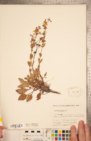 (Penstemon albertinus - CCDB-20338-E10)  @11 [ ] Copyright (2015) Deb Metsger Royal Ontario Museum