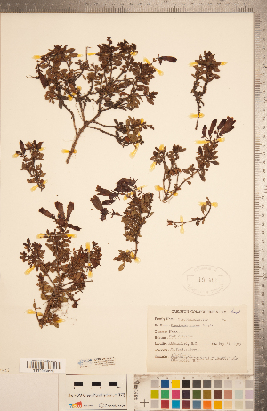 (Penstemon ovatus - CCDB-20338-B10)  @11 [ ] Copyright (2015) Deb Metsger Royal Ontario Museum