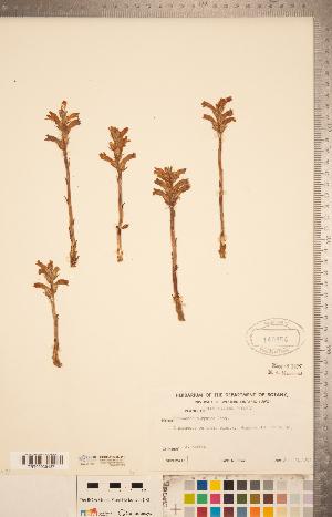 (Orobanche purpurea - CCDB-20338-G12)  @11 [ ] Copyright (2015) Deb Metsger Royal Ontario Museum