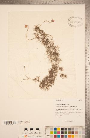 (Utricularia purpurea - CCDB-20339-H02)  @11 [ ] Copyright (2015) Deb Metsger Royal Ontario Museum