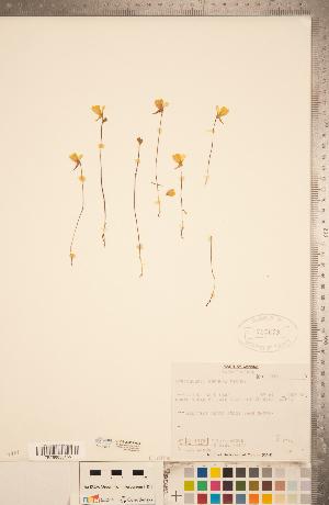 (Utricularia cornuta - CCDB-20339-H04)  @11 [ ] Copyright (2015) Deb Metsger Royal Ontario Museum