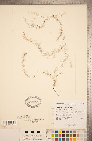 (Utricularia geminiscapa - CCDB-20339-E04)  @11 [ ] Copyright (2015) Deb Metsger Royal Ontario Museum