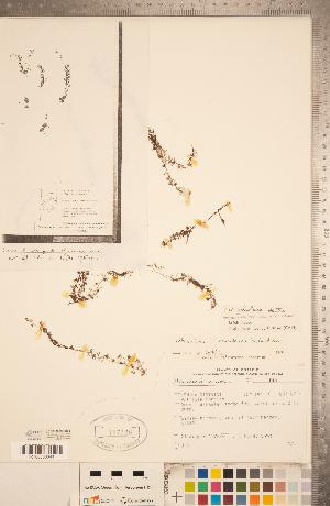 (Utricularia ochroleuca - CCDB-20339-H05)  @11 [ ] Copyright (2015) Deb Metsger Royal Ontario Museum