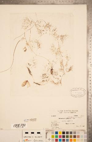 (Utricularia radiata - CCDB-20339-E05)  @11 [ ] Copyright (2015) Deb Metsger Royal Ontario Museum