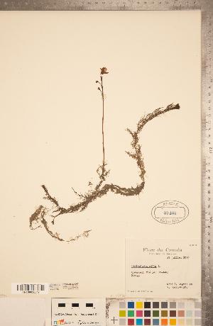 (Utricularia gibba - CCDB-20339-D05)  @11 [ ] Copyright (2015) Deb Metsger Royal Ontario Museum