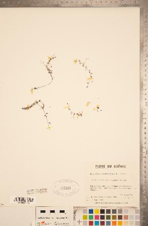 (Utricularia ochroleuca - CCDB-20339-B05)  @11 [ ] Copyright (2015) Deb Metsger Royal Ontario Museum