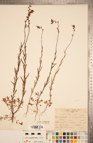 (Nuttallanthus - CCDB-20339-H06)  @11 [ ] Copyright (2015) Deb Metsger Royal Ontario Museum