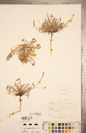 (Plantago coronopus - CCDB-20339-G06)  @11 [ ] Copyright (2015) Deb Metsger Royal Ontario Museum
