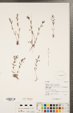 (Houstonia - CCDB-20339-A08)  @11 [ ] Copyright (2015) Deb Metsger Royal Ontario Museum