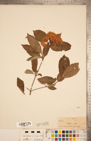 (Viburnum nudum - CCDB-20339-A09)  @11 [ ] Copyright (2015) Deb Metsger Royal Ontario Museum