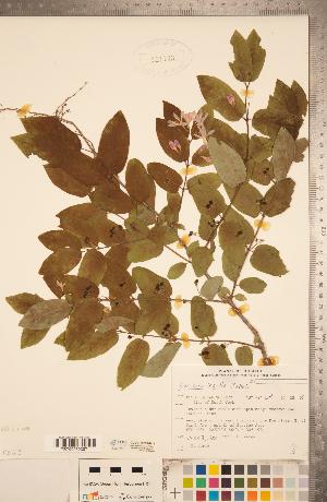 (Lonicera bella - CCDB-20339-H12)  @11 [ ] Copyright (2015) Deb Metsger Royal Ontario Museum