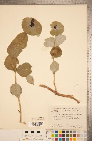 (Lonicera reticulata - CCDB-22993-E01)  @11 [ ] Copyright (2015) Deb Metsger Royal Ontario Museum