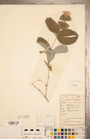 (Lonicera caprifolium - CCDB-22993-D01)  @11 [ ] Copyright (2015) Deb Metsger Royal Ontario Museum