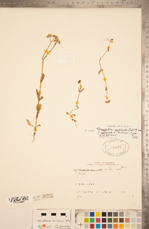 (Valerianella - CCDB-22993-B01)  @11 [ ] Copyright (2015) Deb Metsger Royal Ontario Museum