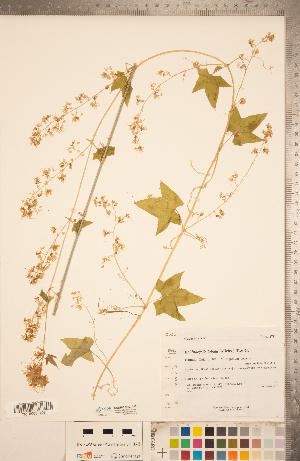 (Echinocystis - CCDB-22993-A02)  @11 [ ] Copyright (2015) Deb Metsger Royal Ontario Museum