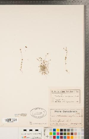 (Heterocodon - CCDB-22993-H03)  @11 [ ] Copyright (2015) Deb Metsger Royal Ontario Museum