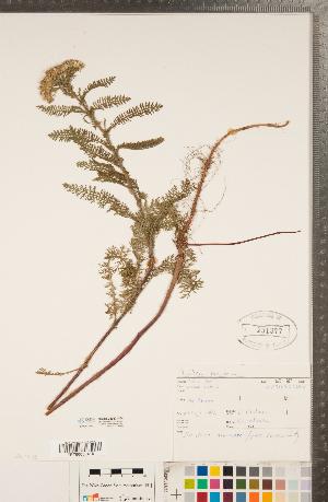(Achillea lanulosa - CCDB-22993-H04)  @11 [ ] Copyright (2015) Deb Metsger Royal Ontario Museum