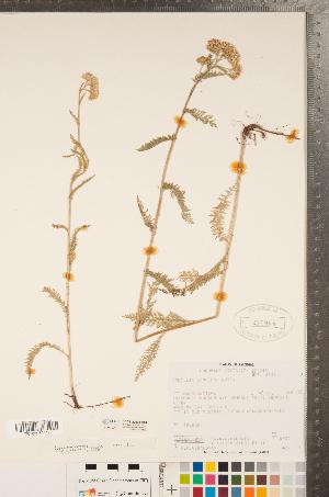 (Achillea lanulosa - CCDB-22993-G04)  @11 [ ] Copyright (2015) Deb Metsger Royal Ontario Museum
