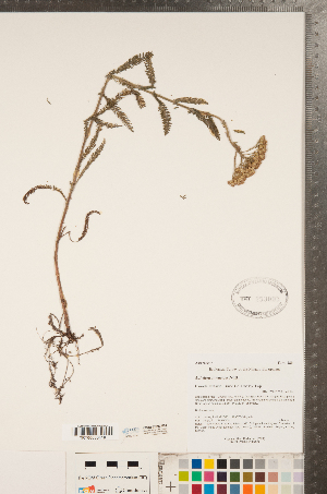 (Achillea lanulosa - CCDB-22993-F04)  @11 [ ] Copyright (2015) Deb Metsger Royal Ontario Museum