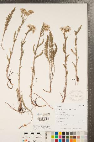(Achillea lanulosa var. lanulosa - CCDB-22993-B04)  @11 [ ] Copyright (2015) Deb Metsger Royal Ontario Museum