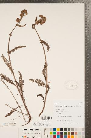 (Achillea lanulosa var. lanulosa - CCDB-22993-A04)  @11 [ ] Copyright (2015) Deb Metsger Royal Ontario Museum