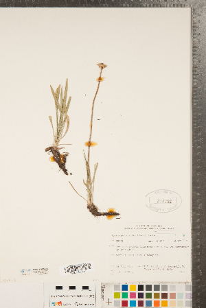 (Tetraneuris - CCDB-22993-A05)  @11 [ ] Copyright (2015) Deb Metsger Royal Ontario Museum
